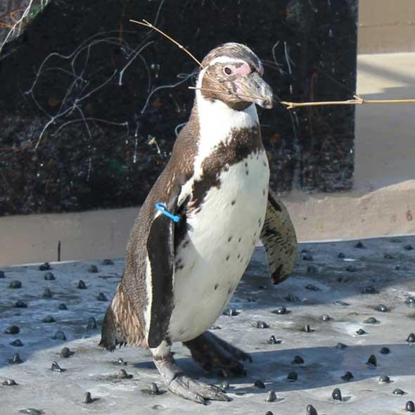 ペンギンの巣材運び