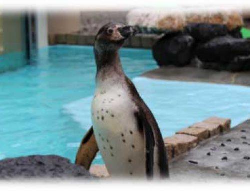 フンボルトペンギンの名前募集