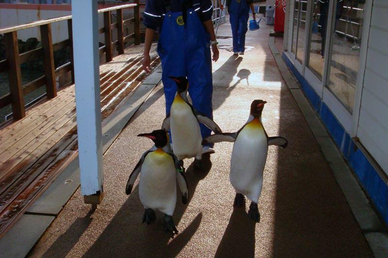 王様のお通りだい! オウサマペンギンがお散歩を始めます!