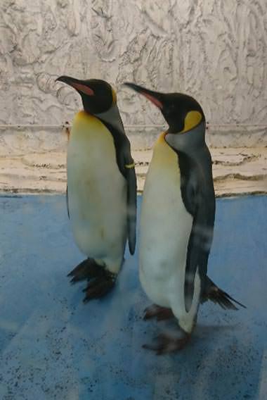 オウサマペンギンがやってくる