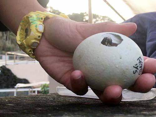 フンボルトペンギンの卵の孵化